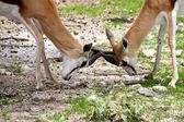 Springboks fighting at Ethosa National Park — Foto de Stock