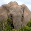 Elephant in Addo Park — Stockfoto