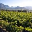 Stock Photo: Landscape of wineries