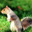 Stock Photo: Squirrel in central park