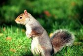 Squirrel in central park — Stock Photo