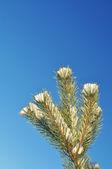Branch, pine or fir — Stock Photo