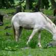 White horse grazing - Stock Photo