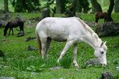 Vit häst betande — Stockfoto