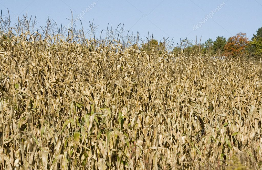 Ripe corn ready for harvest in eastern Canada — Stock Photo #5303340