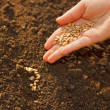 Stock Photo: Corn sowing by hand