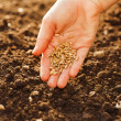 Corn sowing by hand — Stock Photo