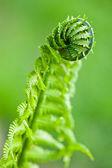 Eğreltiotu yaprakları — Stok fotoğraf