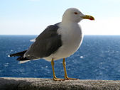 Portrait of a gull — Stock Photo
