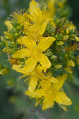 St John's wort (lat. Hypericum perforatum) — Stock Photo