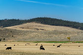 Landscape in Montana with cow herd — Stock Photo
