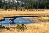 Yellowstone National Park: Wapiti Deer at Hayden Valley — Stock Photo
