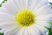 Close-up of white Aster with drops of water — Stock Photo