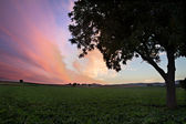 Field with Tree at dusk (violett sky), Pfalz, Germany — Stock Photo