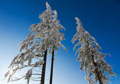 Three snow-capped fir trees in Black Forest, Kaltenbronn, Germany — Stock Photo