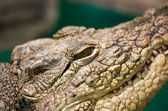 Eye of the American alligator close up — Stock Photo