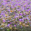 Colchicum flower field — Stockfoto