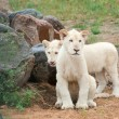 White lion (P. Leo) cubs — Stock Photo