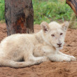 descansando cachorro de león blanco — Foto de Stock