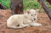 Resting white lion cub — Stock Photo