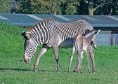 Grevy's zebra with foal — Stockfoto