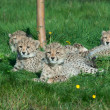 Cheetah cubs — Stock Photo #4517440