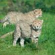 Cheetah cubs on the grass — Stock Photo