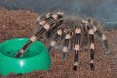 A pet tarantula — Stock Photo