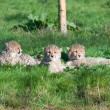 Cheetah cubs — Stock Photo