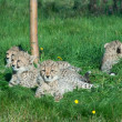 Cheetah cubs rest - Stock Photo