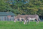 Grevy's zebras graze — Stock Photo