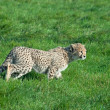 Cheetah cub prowls — Stock Photo