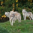 Stock Photo: Wolf pack