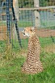 Sitting cheetah — Stock Photo