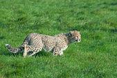Cheetah cub prowls — Stock Photo