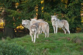 Wolf pack — Stock Photo