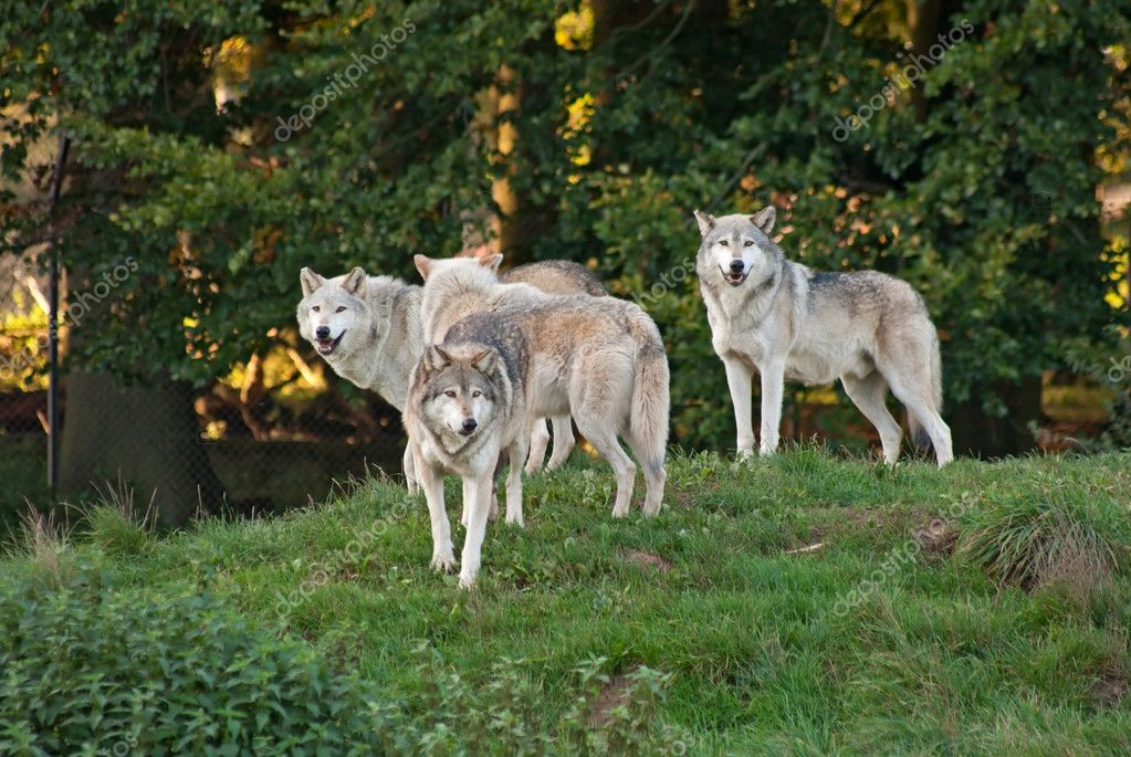 how to create a wolf pack