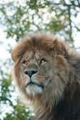Male lion — Foto de Stock