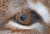 Lynx eye — Stock Photo