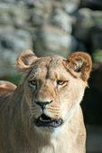 Snarling lioness — Stock Photo