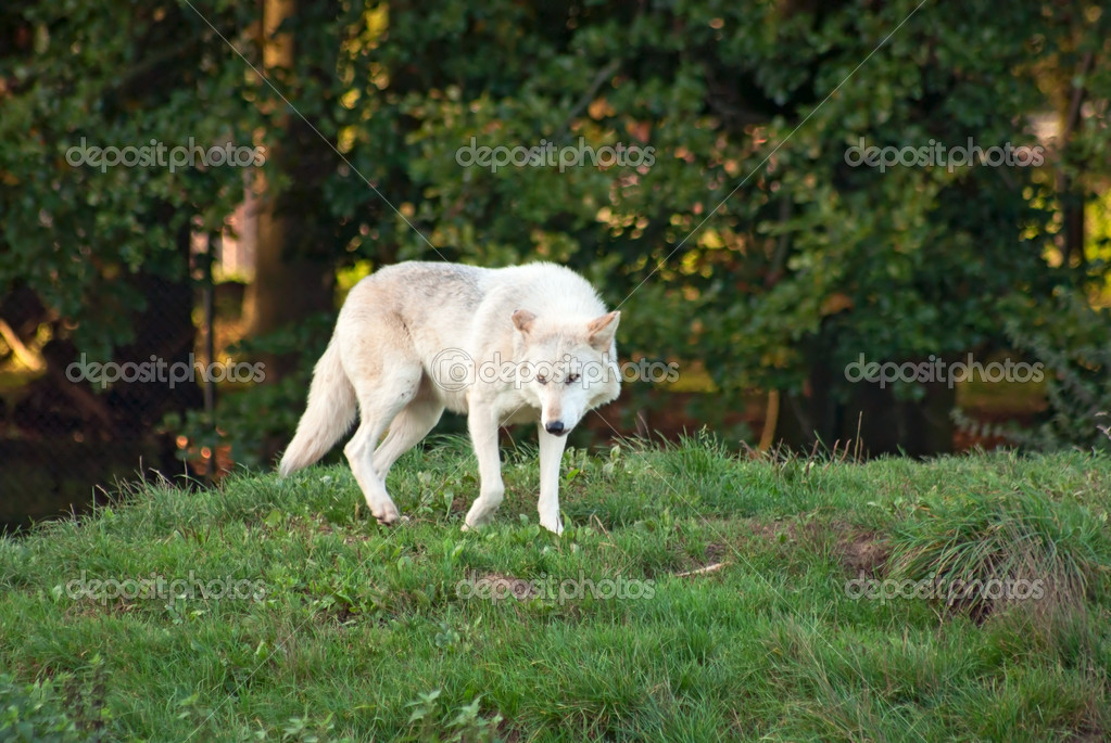 White wolf (C. Lupus) walks — Stock Photo #5266956