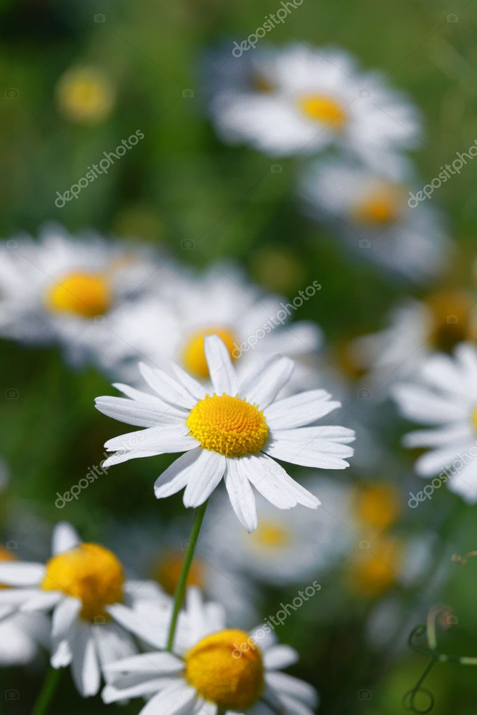 Daisy field in summer field  Stock Photo #4239735