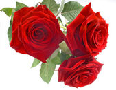 Red roses on the white background — Stock Photo