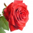 Red rose with small drops of water — Stock Photo