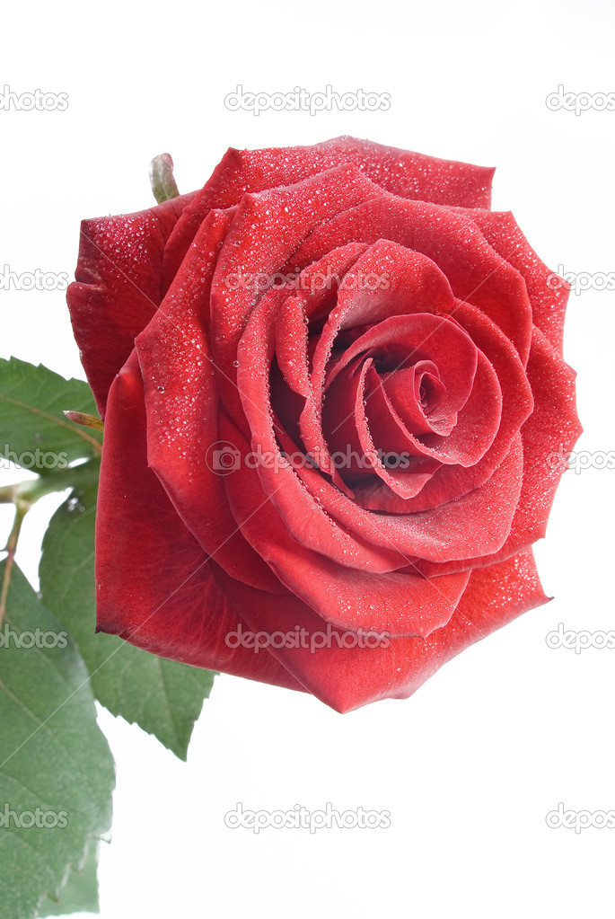 Red rose with drops of water on the white background — Stock Photo #4179643