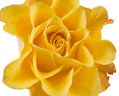 Clouse up of yellow rose on the white — Stock Photo
