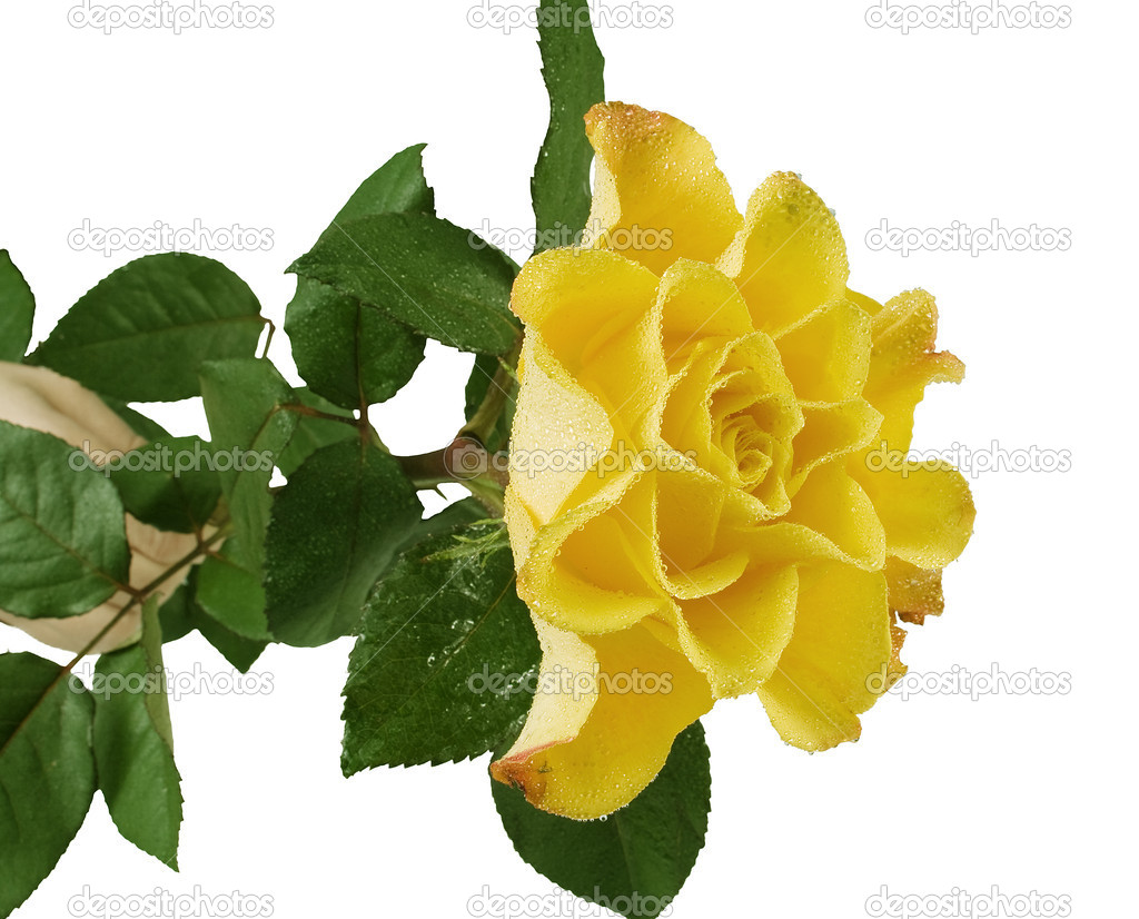 Yellow rose with green leafes on the whitw background — Stock Photo #4251551