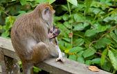 Macaca fascicularis with cub — Stock Photo