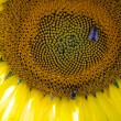 Sunflower and two bees — Stock Photo