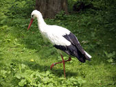 Stork searching for food — Stock Photo